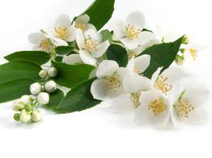 jasmin-pflanze