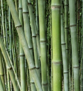 non-native-bamboo