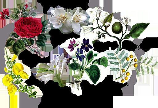 Les_fleurs_de_Grasse. Källa-Jonn's Aromatherapy