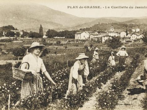 picking-jasmine-at-grasse-france