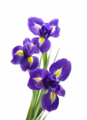fresh_ten_iris