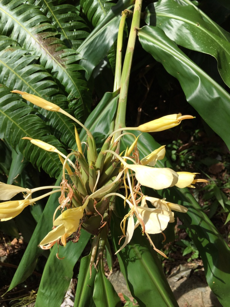 En nyhet för mig - vit  ingefära, Hedychium Flavescens. En otroligt stark doft av bra blommiga parfymer!