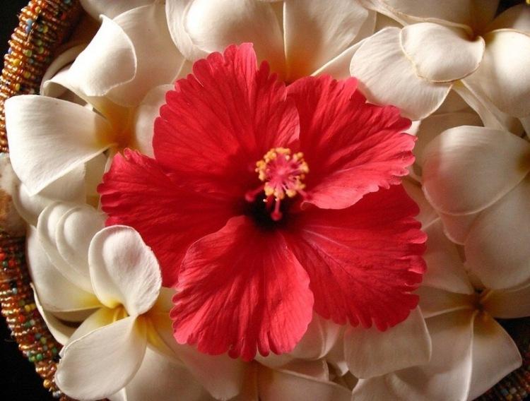 Frangipani och hibiscus (plumeria)