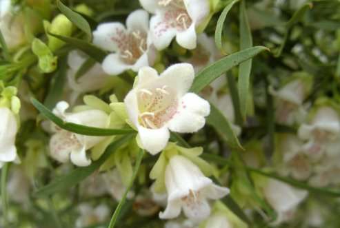 Eremophila mitchellii (Buddha Wood) / Wikimedia Commons