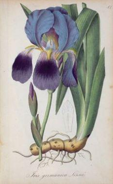 39537524f50ac351409b91deb0997010--vintage-botanical-prints-botanical-drawings